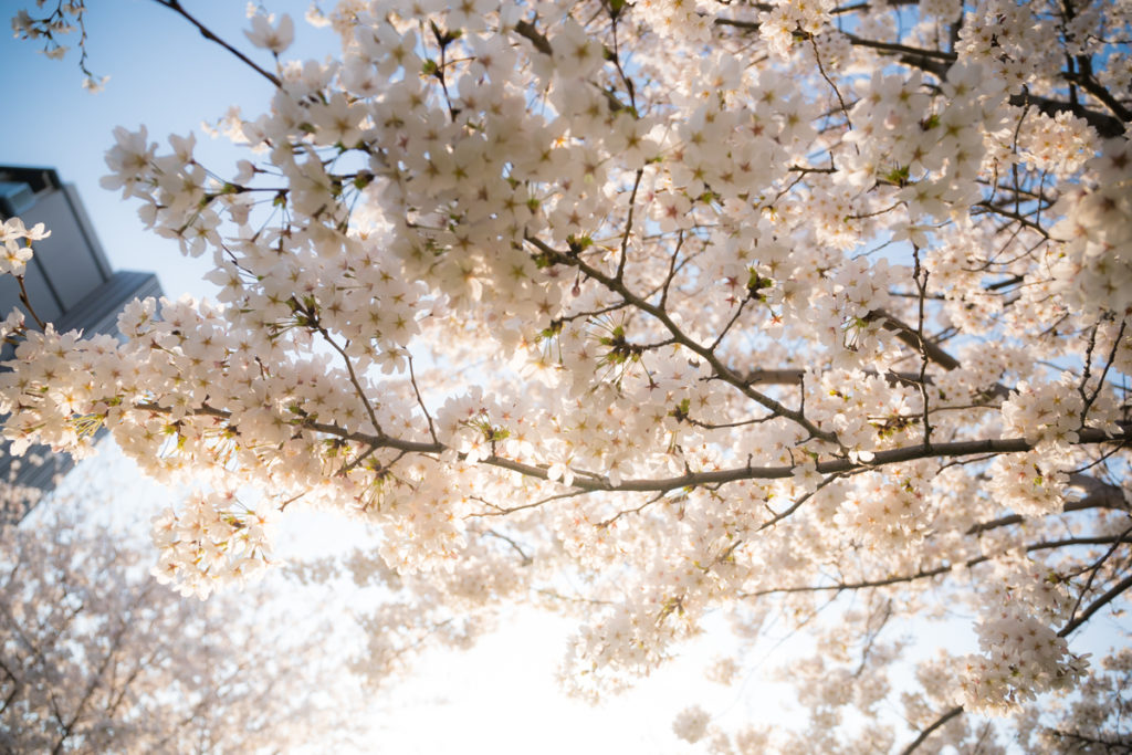 EF24-70mm f4l is usm 桜